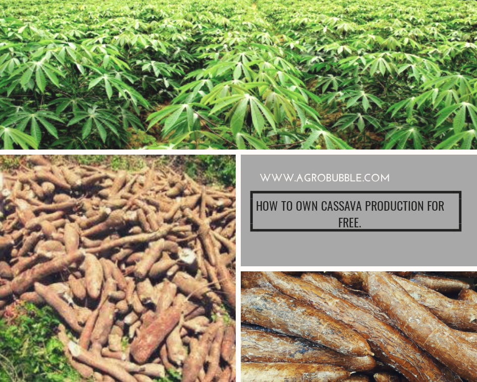Cassava Production