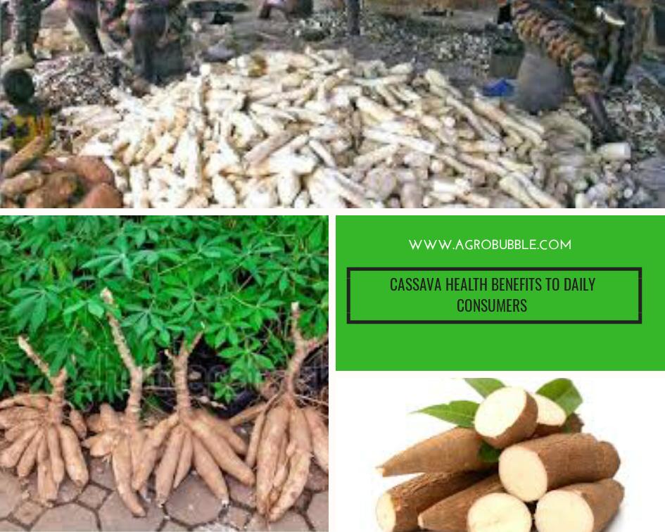 Agrobubble - cassava